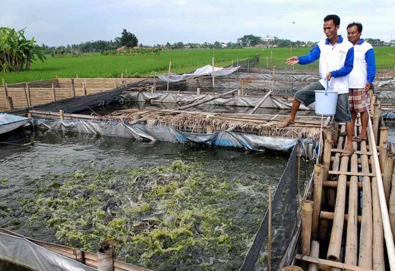 Ternak ikan lele